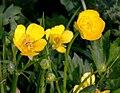 Ranunculus repens pryskyřník plazivý 4.jpg