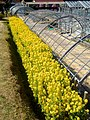 Rape blossoms in Nagoya Agricultural Center - 2.jpg