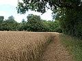 Rapeseed field, Newton Tony - geograph.org.uk - 1997924.jpg
