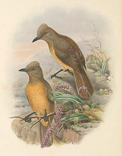 Rectes cerviniventris - The Birds of New Guinea (cropped).jpg