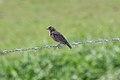 Red-breasted Blackbird (Sturnella militaris) (4089422587).jpg
