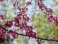 Red Bud Flowers - Flickr - treegrow (1).jpg