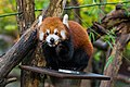 Red Panda (37832752014).jpg