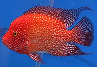 """The """"red Texas"""" cichlid is not a Texas cichlid (Herichthys cyanoguttatus) but an intergeneric hybrid of Herichthys and Amphilophus parents."""