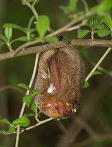 The image depicts a red bat hanging from a branch