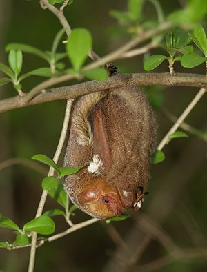 English: Eastern red bat (Lasiurus borealis), ...