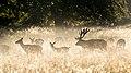 Red deers in Dyrehaven (31984447718).jpg
