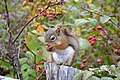 Red squirrel Greenwich.jpg