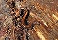 Redbacked Salamander (5641272526).jpg
