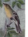 Reed-yellow-throated-vireo.png
