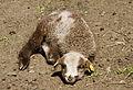 Resting Navajo-Churro lamb.jpg