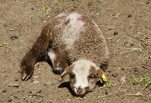 Resting Navajo-Churro lamb