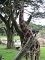 Reticulated Giraffe at SF Zoo 18.JPG