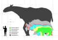 Rhino sizes.png