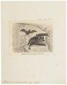 Rhinopoma microphyllum - 1700-1880 - Print - Iconographia Zoologica - Special Collections University of Amsterdam - UBA01 IZ20700123.tif