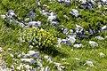 Rhodiola rosea 009.jpg