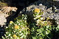 Rhodiola rosea 05.jpg