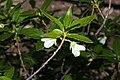 Rhododendron albiflorum 0009.JPG