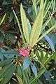 Rhododendron arboreum kz02.jpg