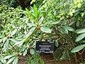 Rhododendron cerasinum.jpg