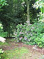Rhododendron in the woods, Milner Field - geograph.org.uk - 1356315.jpg
