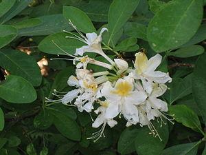 Ericoid mycorrhiza - Western Azalea, Rhododendron occidentale, a western North American ericoid mycorrhizal species.