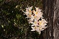 Rhododendron occidentale 4734.JPG