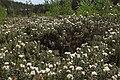 Rhododendron tomentosum kz13.jpg