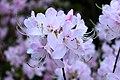 Rhododendron vaseyi.jpg