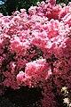 Rhododendronpark Bremen 20090513 266.JPG