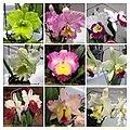 Rhyncholaeliocattleya (Brassolaeliocattleya) cultivars 2 -香港沙田蘭花展 Shatin Orchid Show, Hong Kong- (9163793899).jpg