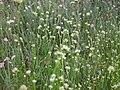 Rhynchospora alba Becklinger Moor b.jpg
