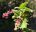 Ribes malvaceum var viridifolium 3.jpg