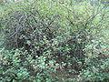 Ribes petraeum (Habitus).jpg