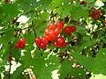 Ribes rubrum fruit Luc Viatour.JPG