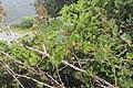 Ribes uva-crispa L. (AM AK348302-3).jpg