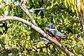 Ringed Kingfisher Martı́n Pescador Grande (Megaceryle torquata torquata) (♀) (24291672984).jpg