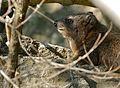 Rock Hyrax (Procavia capensis) (31576054704).jpg