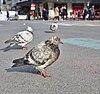 Rock dove (Columba livia) standing on place de la Bourse, Brussels, Belgium (DSCF4421-middlecrop).jpg
