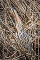 Rohrdommel Flachsee.jpg