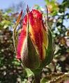 Rosa-sheilasperfume.jpg