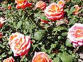 Rosa 'Floricel' P. Dot RPO.jpg