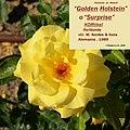 "Rosa ""Golden Holstein"" o KORtikel. 02.jpg"