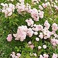 """Rosa """"Heavenly Pink"""" o LENnedi. 02.jpg"""
