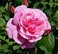 Rosa Improved Cecil Brunner 1.jpg