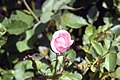 Rosa Perfume Perfection 0zz.jpg