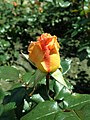 Rosa Rosemary Harkness 2019-05-29 4146.jpg