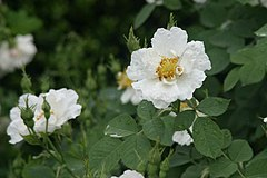 Rosa alba 'semi-plena'