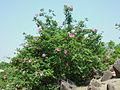 Rosa davurica shrub.JPG
