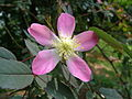 Rosa glauca leaves.JPG